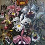 Grafika Art collection: Ernst Haeckel : Orchideen
